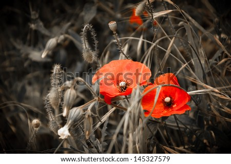 Two red poppies and wild flowers. Aged background. Selective focus. Retro style greeting card.  - stock photo