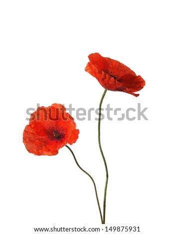 Two red poppies isolated on white - stock photo