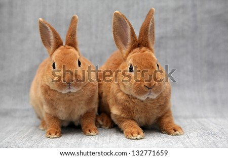Two red rabbits - stock photo