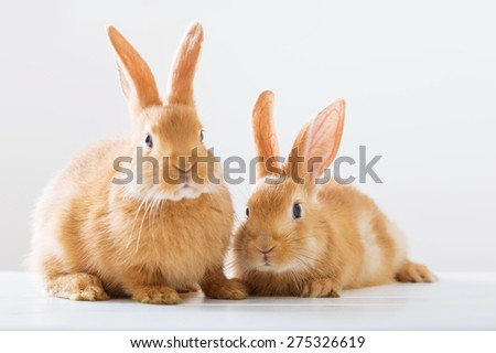 two red rabbits on white background - stock photo