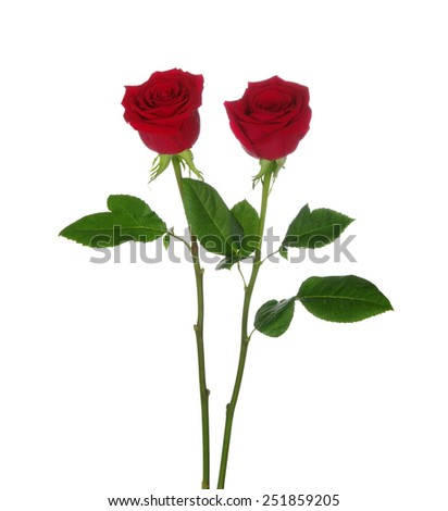 two red rose isolated on white background - stock photo