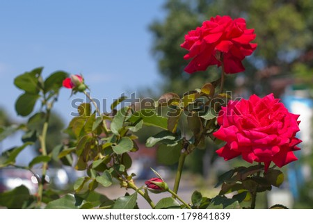 Two red roses in a summer day