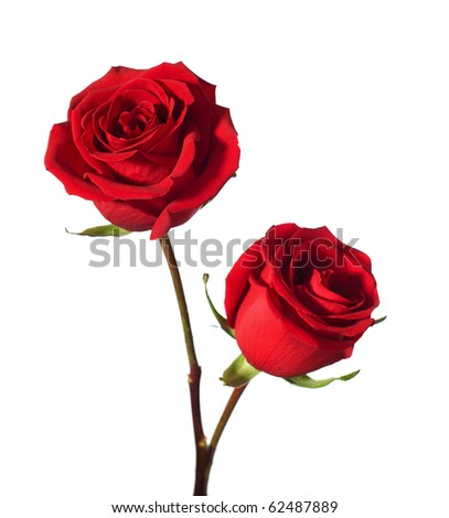 two red roses isolated on white - stock photo
