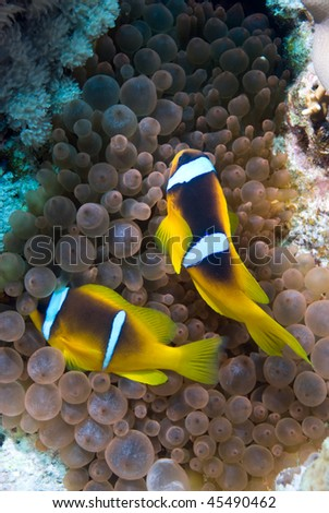 Two Red sea anemone fish (amphiprion bicinctus) close to  the protection of their host Bubble anemone (entacmaea quadricolor). Red Sea, Egypt. - stock photo