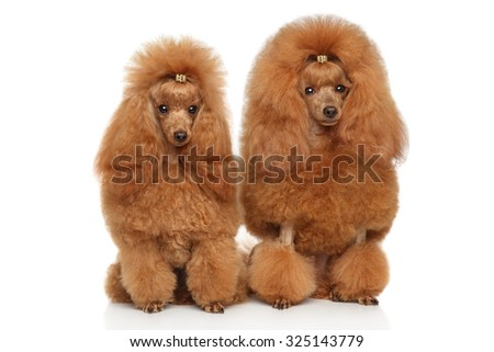 Two red toy poodle sits on white background - stock photo