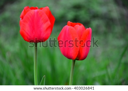 two red tulips - stock photo