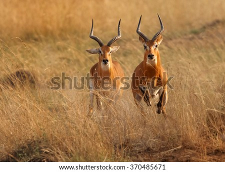 Two reddish-brown antelope Kobus kob thomasi -- Uganda kob,territorial male in mating season chasing a second male in their typical environment, dry brown blurred savanna in Murchison Falls,Uganda.. - stock photo
