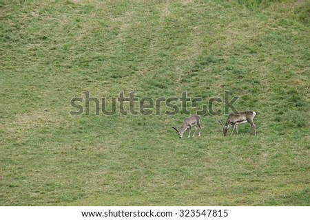 Two reindeers on the grass