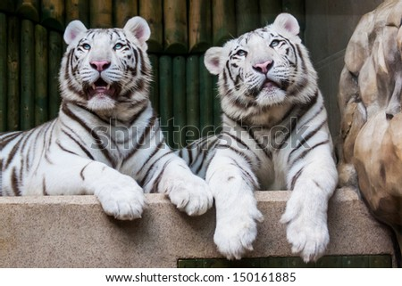 Two relaxing white tigers - stock photo