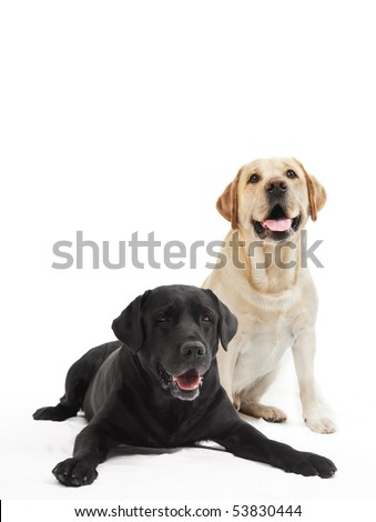 two Retriever Labrador black and ivory shade dogs lying in studio isloated - stock photo
