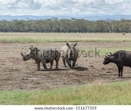 Two rhinoceros and buffalo at Lake Nakuru National Park - Kenya , East Africa - stock photo