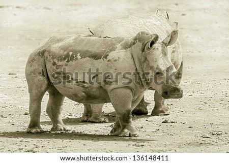 Two rhinoceros at Lake Nakuru National Park - Kenya. East Africa (stylized retro) - stock photo