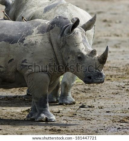Two rhinoceros at Lake Nakuru National Park - Kenya, Eastern Africa - stock photo