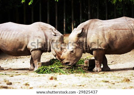 Two Rhinoceros eating grass at Taiping Zoo, Malaysia. - stock photo
