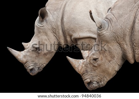 Two Rhinoceros heads isolated on black with clipping path
