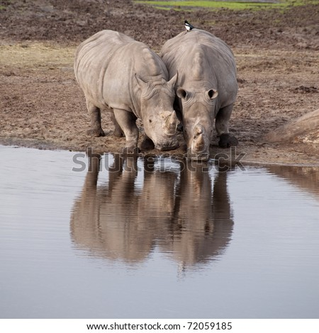 Two rhinos drinking from a pool - stock photo
