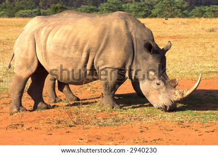 Two rhinos grazing in late afternoon in dry field. Baby rhino is hiding behind his mother. - stock photo