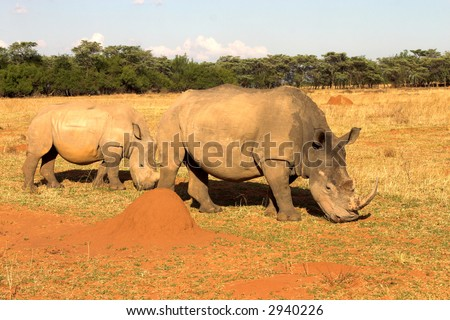 Two rhinos grazing in late afternoon in dry field. Baby rhino is walking next to his mother. - stock photo