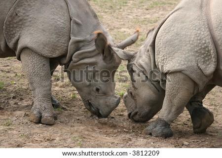 Two rhinos playing - stock photo