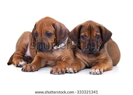 Two Rhodesian Ridgeback  dog puppies  isolated on white  background - stock photo