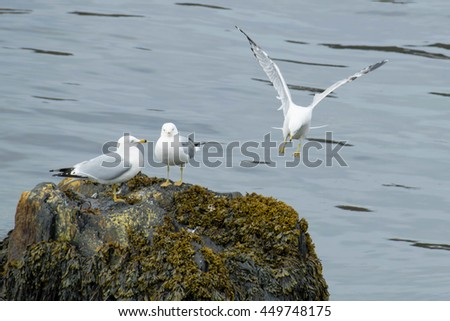 Two Ring-billed Gulls standing on a seaweed covered rock while one comes in for a landing.