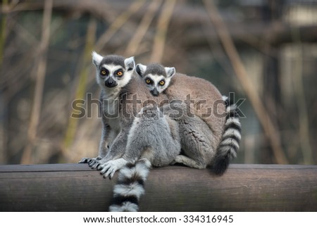 Two ring-tailed lemurs hugging each other looking at camera - stock photo