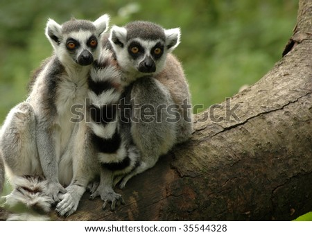 Two ring-tailed lemurs sitting on a fallen tree. - stock photo
