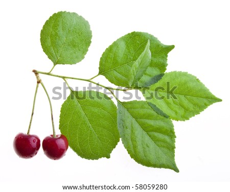 two ripe cherries on a tree branch isolated on a white background