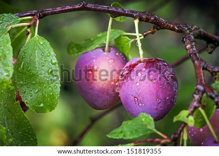 Two ripe red plums on the branch with dew droplets - stock photo