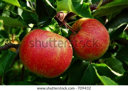 two ripened apples on tree