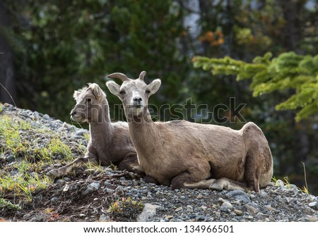 Two Rocky Mountain sheep lying on rocky slope - stock photo