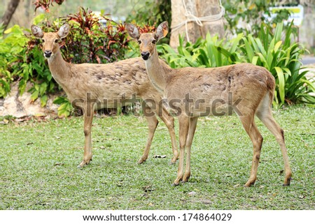 Two roe deers walking in the wild - stock photo