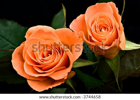 two  roses isolated on black, nature series - stock photo