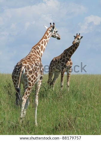two Rothschild Giraffes looking on each other in Uganda (Africa) - stock photo