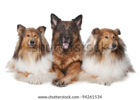 Two Rough Collie dogs and a German Shepherd in front of white background