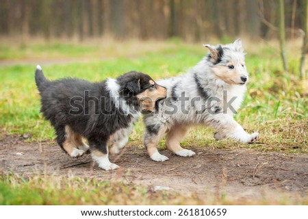 Two rough collie puppies playing - stock photo