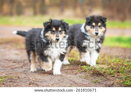 Two rough collie puppies running - stock photo