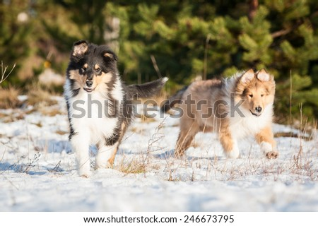Two rough collie puppies running in winter - stock photo