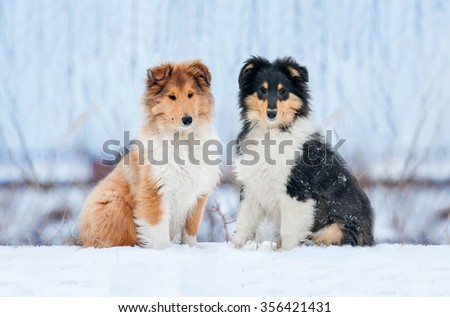 Two rough collie puppies sitting on the hill in winter - stock photo