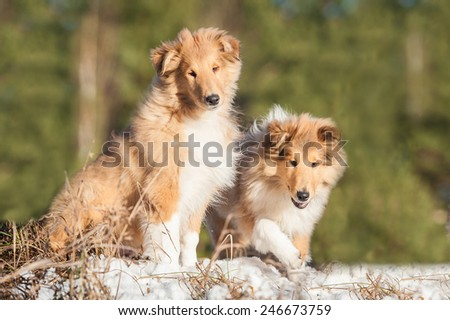 Two rough collie puppies sitting outdoors in winter