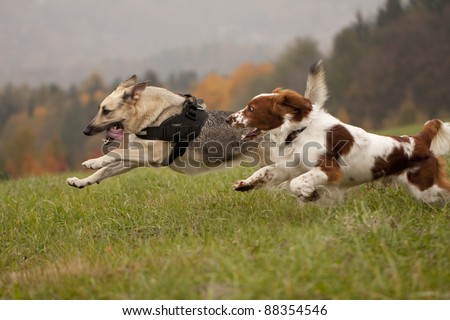 Two running dogs - stock photo
