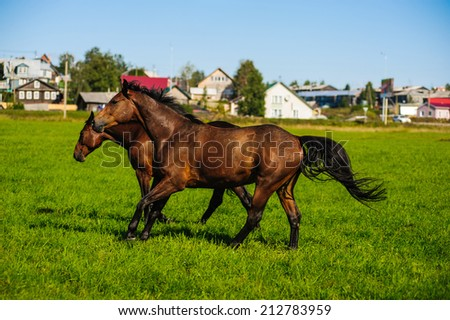 two running horses in a meadow