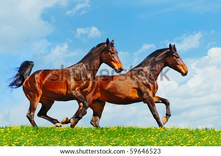 Two running horses in the field - stock photo