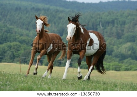 Two running paint horses - stock photo