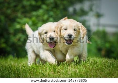 Two running puppy of golden retriever - stock photo