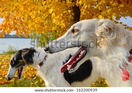 Two russian borzoi dogs close-up in autumn meadow - stock photo