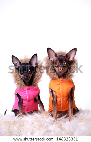 Two russian toy terriers brown and black little dogs dressed isolated on a white background - stock photo