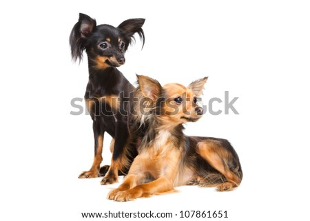 Two Russian toy terriers isolated on a white background