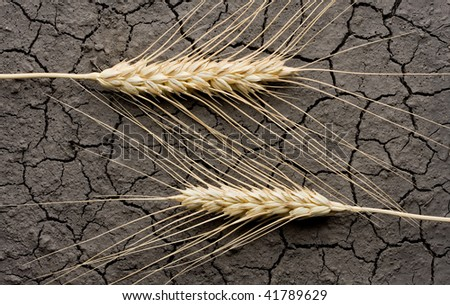 Two rye ears on cracked dry land background - stock photo