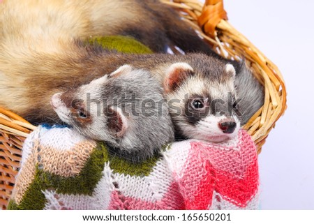Two sable ferrets lying  in the basket - stock photo